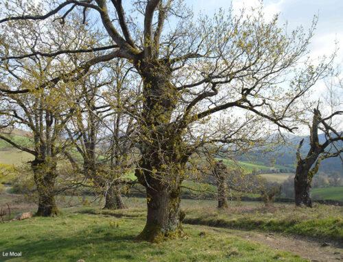 L'arbre têtard en Pays Basque : un témoin de l'histoire, un enjeu de biodiversité et une ressource d'avenir