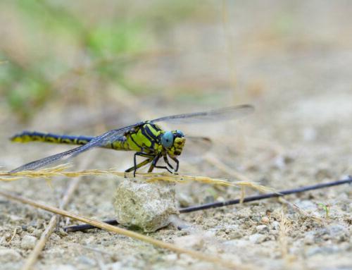 Formations d'initiation et de perfectionnement à la détermination des libellules