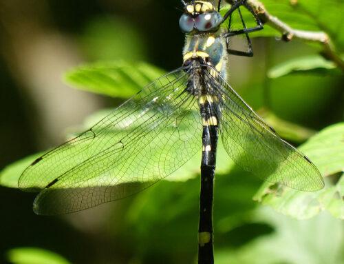 Macromia splendens autochtone en Lot-et-Garonne